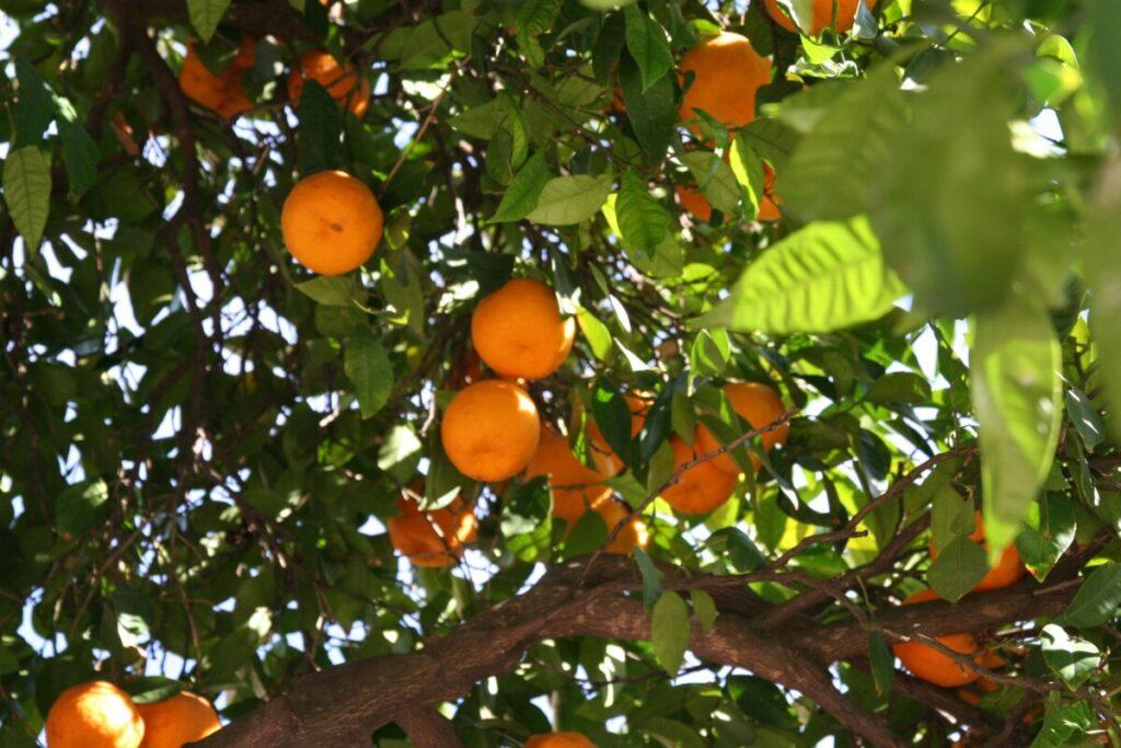 Appelsiner i Andalucia
