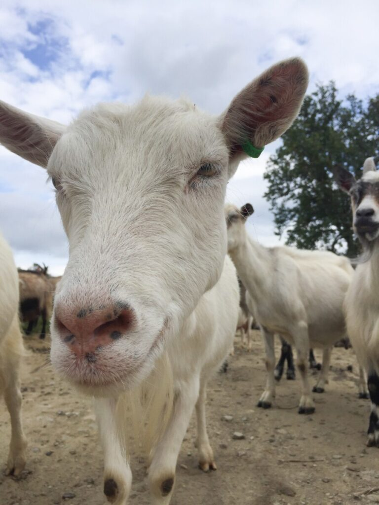 Kule geiter - cool goats at Øverdalssetra