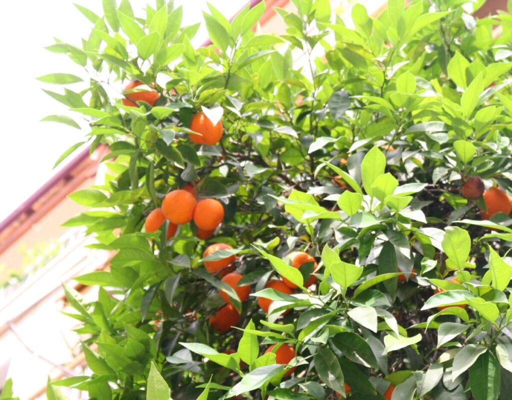 Appelsintre i Athen